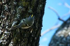 Golden Crown Kinglet (Corgibird) Tags: birds wildbirds goldencrownkinglet