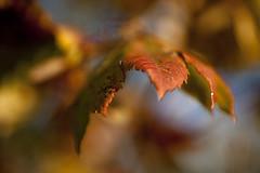 Homage to Autumn (Robert_Brown [bracketed]) Tags: park autumn red orange brown macro fall robert leaves yellow oregon canon leaf maple bokeh mark beaverton orchard 100mm ii 5d hillsboro 2012 tannesbourne