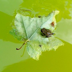 Baby Frog on Leaf (hardmile) Tags: frog baby water wildlife beauty forest amphibian amphibians reptile reptiles frogs babies