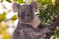 Happy Bokeh Wednesday (vzonabaxter) Tags: bear columbuszoo columbus ohio animal canon eos zoo koala 2012 koalabear 50d vzonabaxter