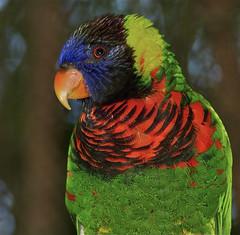 "Did you get my best side?"" (ucumari photography) Tags: bird sc rainbow south lorikeet columbia carolina riverbankszoo specanimal ucumariphotography dsc5927"