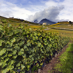 The vineyards (Pilar Azaa) Tags: sky mountains color luz clouds landscape switzerland europa suiza paisaje vineyards cielo nubes grapes sion montaas valais uvas viedos thegalaxy seleccionar 100commentgroup pilarazaa natureandpeopleinnature mygearandme rememberthatmomentlevel1 rememberthatmomentlevel2