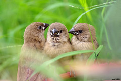3 little birds (kengoh8888) Tags: baby brown cute field grass pentax young ground 300mm da munia avian kx scaly breasted smallbird thegalaxy mygearandme mygearandmepremium mygearandmebronze mygearandmesilver mygearandmegold