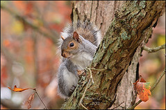 Autumn Squirrel (Diane G. Zooms) Tags: nature squirrel wildlife ngc npc soe autumnsquirrel easterngreysquirrel coth thegalaxy bestofsquirrels coth5 sunrays5 besteverdigitalphotography vigilantphotographersunite vpu2