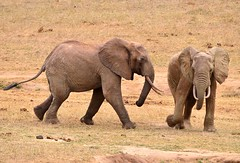 African Bull Elephant side attack - taken from Ngulia Lodge, Tsavo, Kenya. (One more shot Rog) Tags: africa elephant nature big fight kenya african wildlife attack large dumbo ears safari trunk elephants trunks herd attacks bigger ele aliya mombasa africanelephant kenyan jambo bigest ngulia ngulialodge
