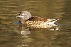 Aix galericulata  Mandarin Duck (Roger Wasley) Tags: mandarinduck aixgalericulata mallardspikelake forestofdeanbirds gloucestershirebirds