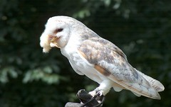 Owl (Seckington Images) Tags: owl dunrovincastle