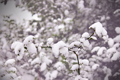 Another holly (Ollie Barr) Tags: winter snow slr digital canon lens eos time zoom branches telephoto covered banches 550d 55250mm