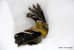 Unconscious Goldfinch (robberfly12) Tags: snow bird pennsylvania goldfinch injured unconscious sigma18250f3563hsm