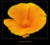 Happy Quinta Feira ♫ ♬ ♪ ♩☆ Dedal de Oro (jacilluch) Tags: orange flower macro fleur flor blossoms poppy fernando eschscholzia rosella campanilla naranja californiapoppy coquelicot californica goldenpoppy papaveraceae poppys amapola cornpoppy papoula gineceo raso asilvestrada escholtzia ababol mitxoleta dedaldeoro papaverorosso amapoladecalifornia papuela rossopapavero rasete eschscholzieae
