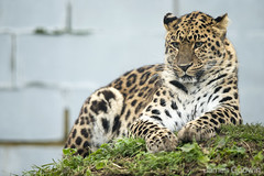 D67R1941 (Jahled71) Tags: charity canon conservation amurleopard criticallyendangered catsurvivaltrust flickrbigcats