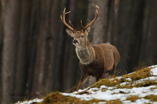 Red Stag 3