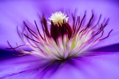 Clematis-On1.jpg (sauvegv) Tags: flowers fleurs clematis nikkor50mmf18 macrophotographie mcex1116
