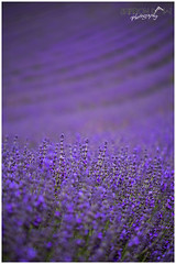 Lavender Lines (Lavandula) (Sharon Dow Photography) Tags: uk england plant color colour nature beautiful field lines nikon europe pretty westsussex bokeh britain sleep ngc lavender peaceful crop smell oil growing farmer annual colourful shrubs naturalworld southdowns perennial chichester scented lamiaceae 2016 herbaceous lavandula mintfamily leadingline lamiales lavenderfield lordington subshrubs d7100 nepetoideae lavendercolour smallshrubs lavanduleae mailette lordingtonlavender nikond7100 shrublikeperennials sharondowphotography july2016 po189dx lordingtonfarm mailettelavender shortlivedherbaceousperennialplants andrewelms