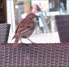 Here For Coffee (NIKKI O BRIEN) Tags: bird coffee house chair wings dublin olympus em5