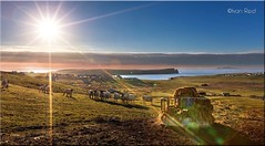 Bigton Farm Shetland (Ivan Reid) Tags: shetland st ninians foula sunset farm rams feeding hay winter grass silage west south sun sand croft bluesky