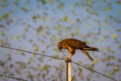 IMG_0296.jpg (Paul Williams www.IronAmmonitePhotography.com) Tags: bird budgerigar summer murmuration dryseason melopsittacusundulatus australia