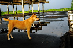 ,, Mama, Roof ,, (Jon in Thailand) Tags: mama roof nikon d300 nikkor 175528 jungle reflection thedogpalace dog k9 asia thailand abandonedbuilding decayingbuilding littledoglaughedstories