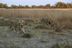 Lion Scent II (www.mattprior.co.uk) Tags: adventure adventurer journey explore experience expedition safari africa southafrica botswana zimbabwe zambia overland nature animals lion crocodile zebra buffalo camp sleep elephant giraffe leopard sunrise sunset