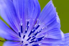 Blue Burst (C h r i s - F.) Tags: nikon d7000 6t closeup filter lens