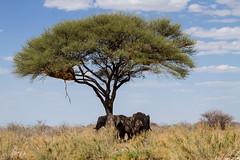 Shadow (Thomas Retterath) Tags: 2015 africa africanelephant afrika allrightsreserved animals baum bigfive canon copyrightthomasretterath ef70200mmlis28usm elefant elephantidae endangeredspecies eos7d etoshanationalpark gefhrdetetierart herbivore loxodontaafricana mammals namibia natur nature pflanzenfresser redlist roteliste stoszhne sugetier thomasretterath tiere tree tusks wildlife