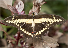 Swallowtail butterfly... (kevingrieve610) Tags: swallowtail butterfly sensational natural history museum london city flickr natura leaf foliage wow depthoffield canon 760d ef100mm diffused flash