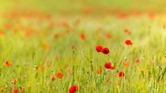 Poppies (Future-Echoes) Tags: 135mm 2013 bokeh colchester depthoffield dof essex field flowers nature poppies red