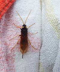 Horntail (nz_willowherb) Tags: scotland fife tentmuir forest horntail woodwasp