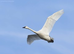 Tundra Swan AAC (martinaschneider) Tags: swan tundraswan spring aylmer bird ontario flight flying birds bluesky