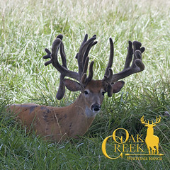Velvet season has begun! (oakcreekhunt) Tags: velvethunts monsterbucks missouri whitetail keithwarren weishuhn wwwoakcreekwhitetailranchcom deer recordbookdeer