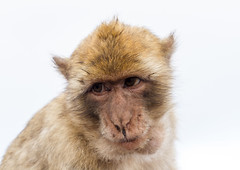 A Barbary macaque (TimOve) Tags: vacation ferie trip summer sommer barbarymacaque rockape gibraltar therock monkey