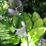 Hosta sieboldiana - Asparagaceae thumbnail