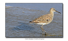 Curlew Sandpiper (Calidris ferruginea) (prendergasttony) Tags: elements bird wader shorebird outdoors nature sea sand nikon d7200 sandpiper curlew america florida usa beach waves atlantic