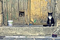 Cats (Adrianos Evangelidis) Tags: cat street cats bej portrait nikon d7200
