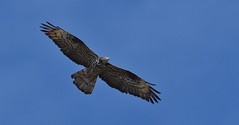 MRC_1309 (Obsies) Tags: birdinflight bif flying birds prey birdofprey raptors avedepresa honeybuzzard halconabejero halcn buzzard pajaro airelibre