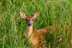 Whitetail Deer (SaunTek) Tags: whitetail deer wildlife nature