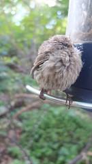sleeping finch (sfrikken) Tags: bird finch house feeder helena back yard sleep madison wisconsin perch