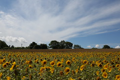 Sunflowers On A Sunny Day (Chris*Bolton) Tags: sunflowers sunflower flowers scene sunny scenery colours glenmore kilkenny ireland field crop