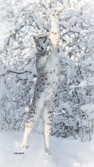 Reaching for the sky (nemi1968) Tags: canon canon5dmarkiii ef70200mmf28lisiiusm eurasianlynx gaupe langedrag lynx markiii cat catfamily closeup jump jumping reaching snow tree trees white winter specanimal