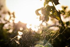 Spider (Jeferson Felix D.) Tags: spider aranha inseto insect animal sol sun sunrise sunset canon eos 60d canoneos60d 18135mm rio de janeiro riodejaneiro photography fotografia photo foto camera