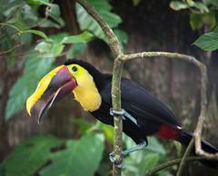 Toucan at Laguna (julie m r1) Tags: toucan lagunalodge costarica tortuguero