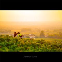 Grape harvest in Beaujolais (dominikfoto) Tags: beaujolais brouilly vendanges vignes grapeharvest fusina dominik vine wine vines grape raisins