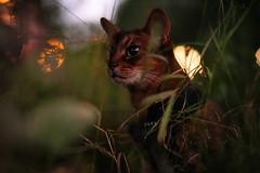 In the darkness (DizzieMizzieLizzie) Tags: abyssinian aby beautiful wonderful lizzie dizziemizzielizzie portrait siesta a7 cat chats feline gato gatto katt katze katzen kot meow mirrorless pisica sony mitakon