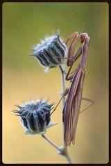 Sono noiosa? I'm boring? ((Raffaella@)) Tags: animal cenciomolle mantide mantis insetto insect cava macro canon natura nature dof closeup allaperto pianta plant