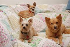 DSC_9690 (ghoulia) Tags: dogs dogvacay rovercom mutts chihuahua yorkie pomeranian