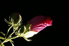 _DSC0200 (wdeck) Tags: meingarten flowers sonya700 blossoms blte malve hibiskus