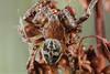 Larinioides cornutus - male (clanchief) Tags: larinioidescornutus furrowspider furroworbspider orbweaver silk spider web pedipalp canonmpe65mm macro araneae larinioides araneidae