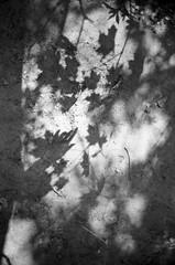 (Desika Devic) Tags: leica m6 analog film 35mm shadows hand light silhouette leaves tree nature kodak tmax 400 highpark fineart