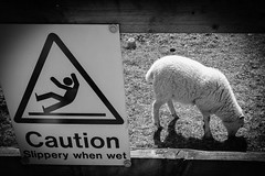 Caution! (matthewjbrennan75) Tags: monochrome bw blackandwhite funny sheep sign warning caution wet slippery
