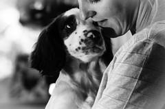 I think I love you ! (TrevKerr) Tags: dog cute pup puppy springer springerspaniel englishspringerspaniel